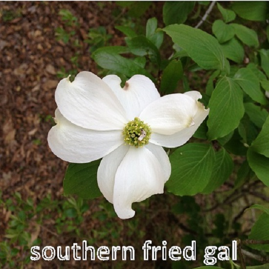 dogwood-bloom